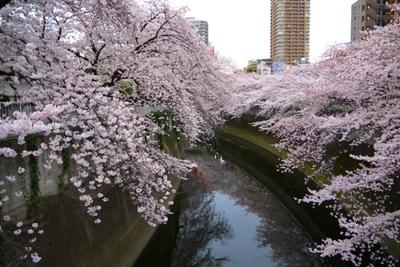 桜よ今年もありがとう!「サクラサク2015」レポート@面影橋〜前編〜